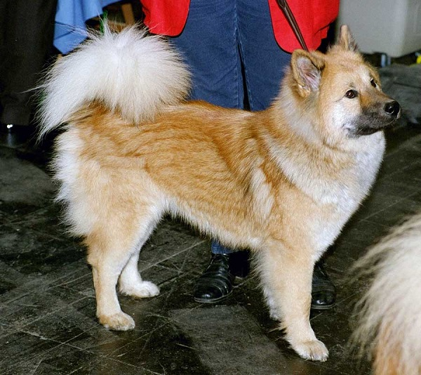 Ainu-Dog- best hunting dog breeds