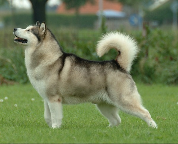 Alaskan_Malamute ancient dog breeds
