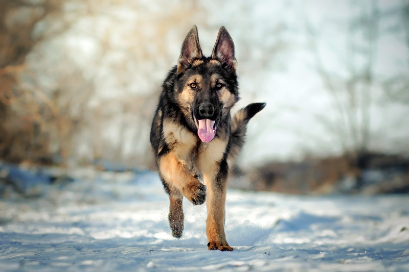 Alsatian German Shepherd dog running