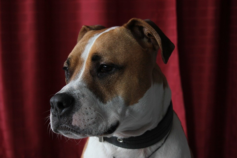 American Staffordshire Terrier up close