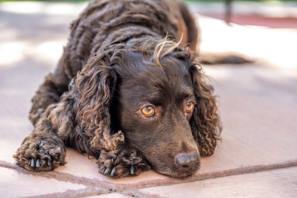 Brown American Water Spaniel resting on floor