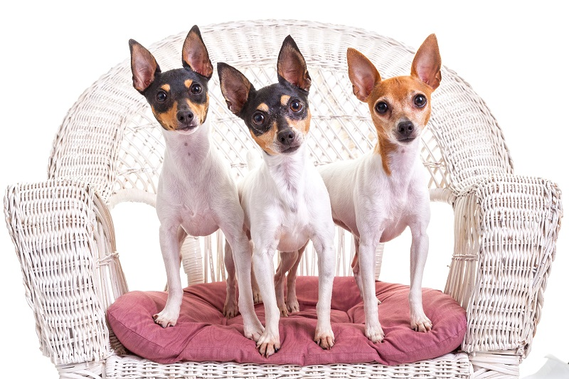 three toy fox terriers on a chair