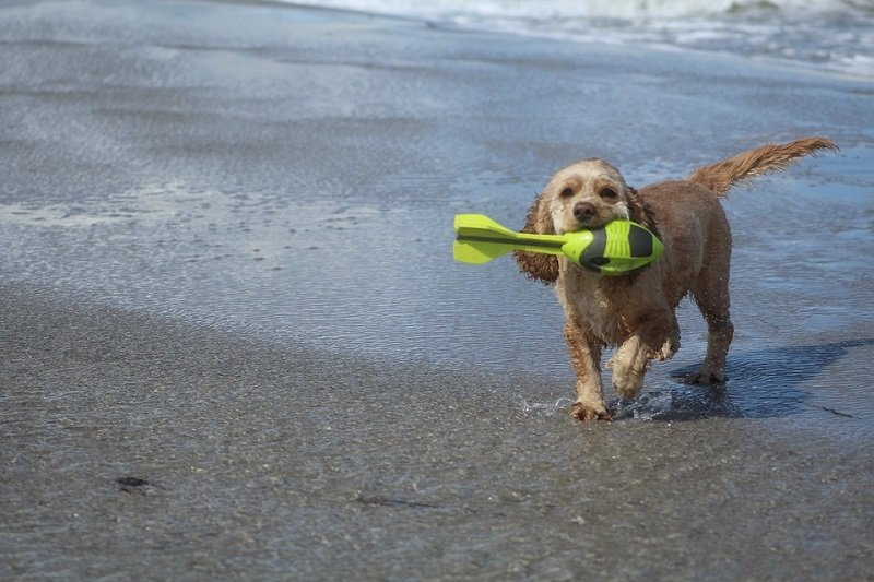 American-water-spaniel-are-best-dogs-for-beach-living