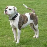 American_Bulldog_white-and-gray