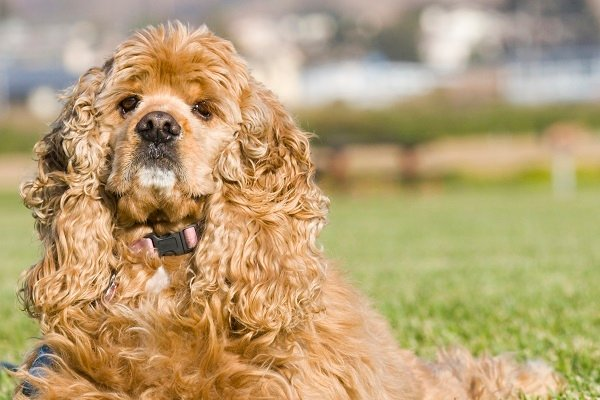 American_Cocker_Spaniel native American dog breeds