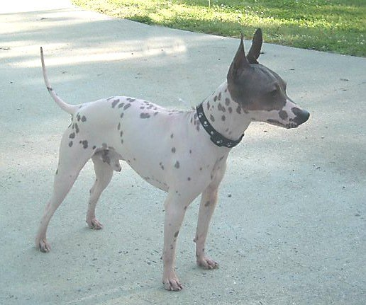 American_Hairless_Terrier