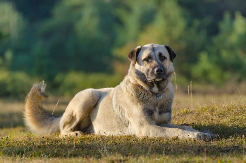 Anatolian Shepherd lying down with nature landscape in the background