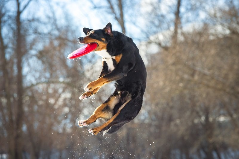 Appenzeller with frisbee