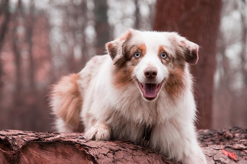 Australian Shepherd merle blue eyes