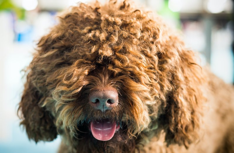 Curly brown Barbet dog looking at camera with hair covering eyes