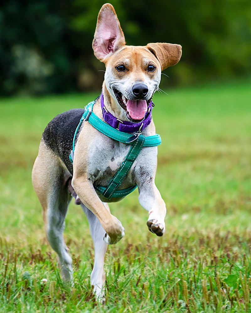 Beagle Terrier Mix