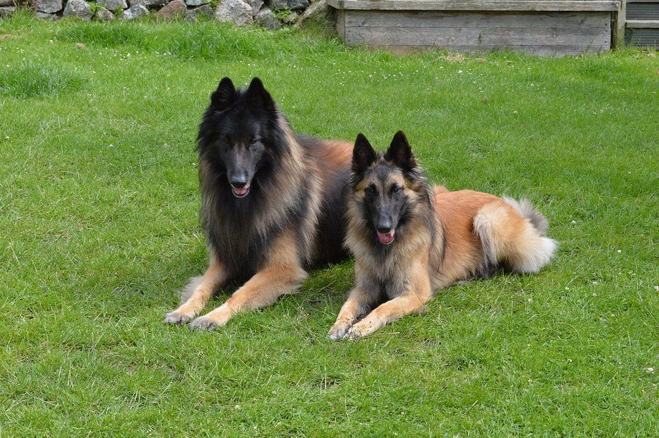 Belgian_Shepherd_Tervuren belgian large dog breeds pictures