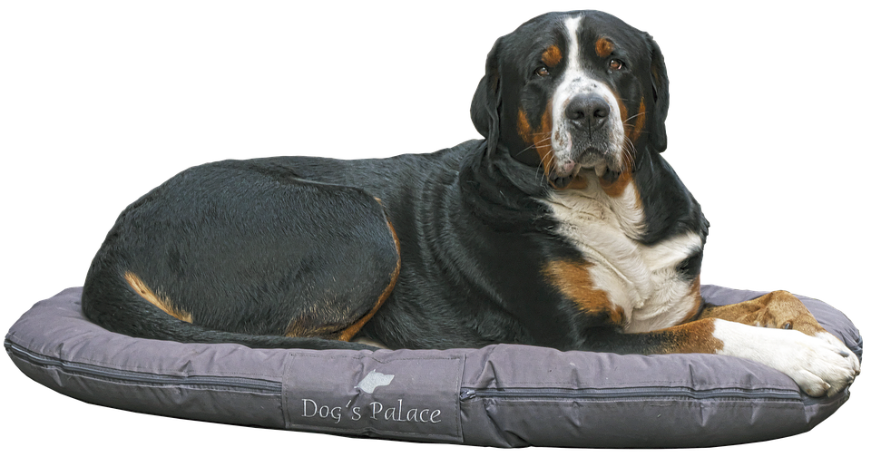 Bernese Mountain Dog lying on dog bed