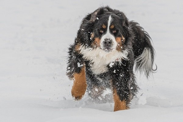 Bernese Mountain Dog running in snow