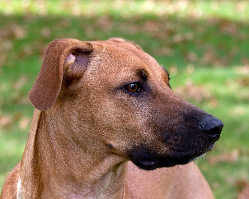 Black Mouth Cur side profile