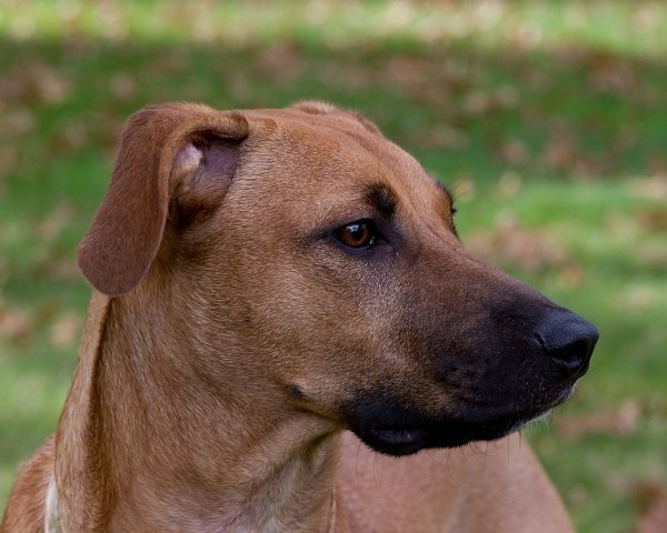 Black Mouth Cur best hunting dog breeds