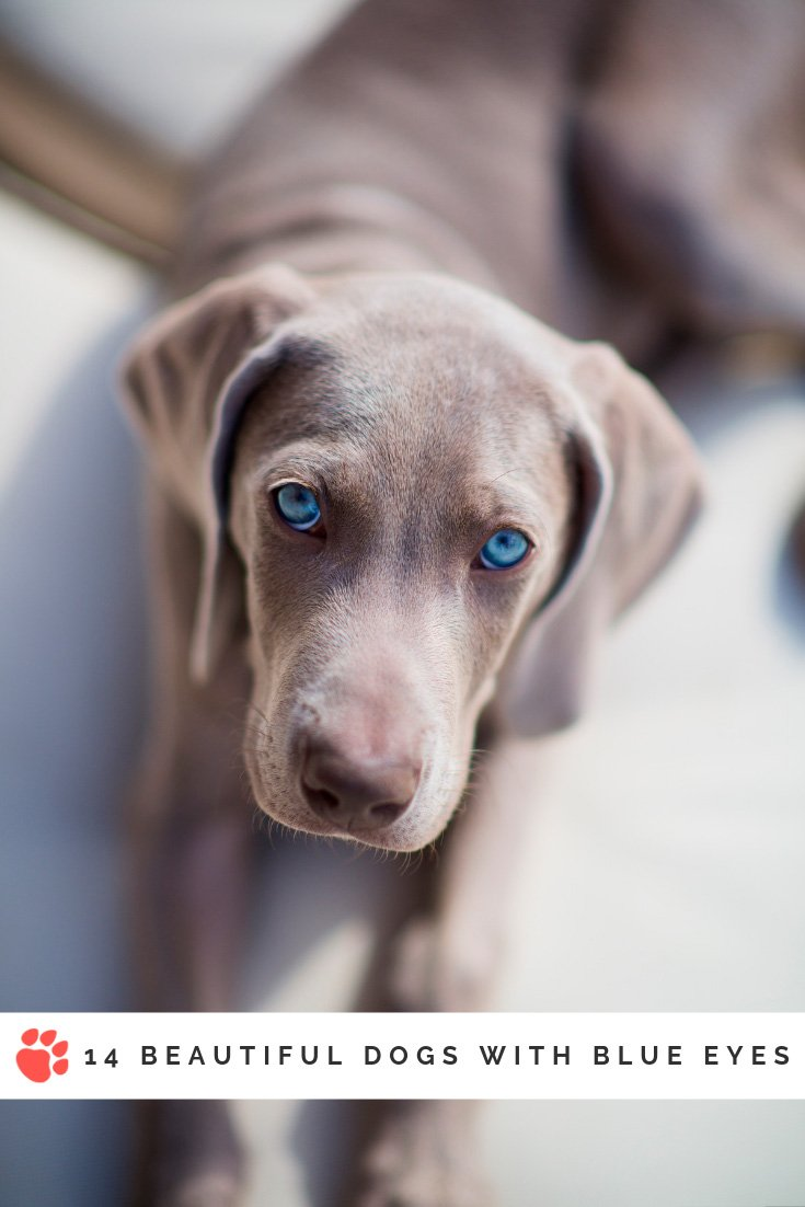 Beautiful dogs with blue eyes