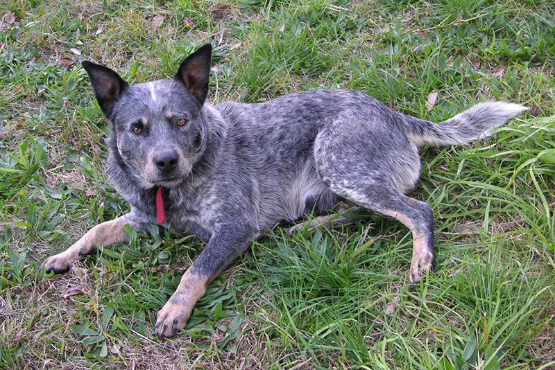 Blue Heeler Australian Cattle Dogs Mixing Dingoes With