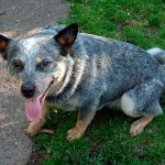 202 Blue Heeler Names For The Perfect Cattle Dog (Or Family Pet)