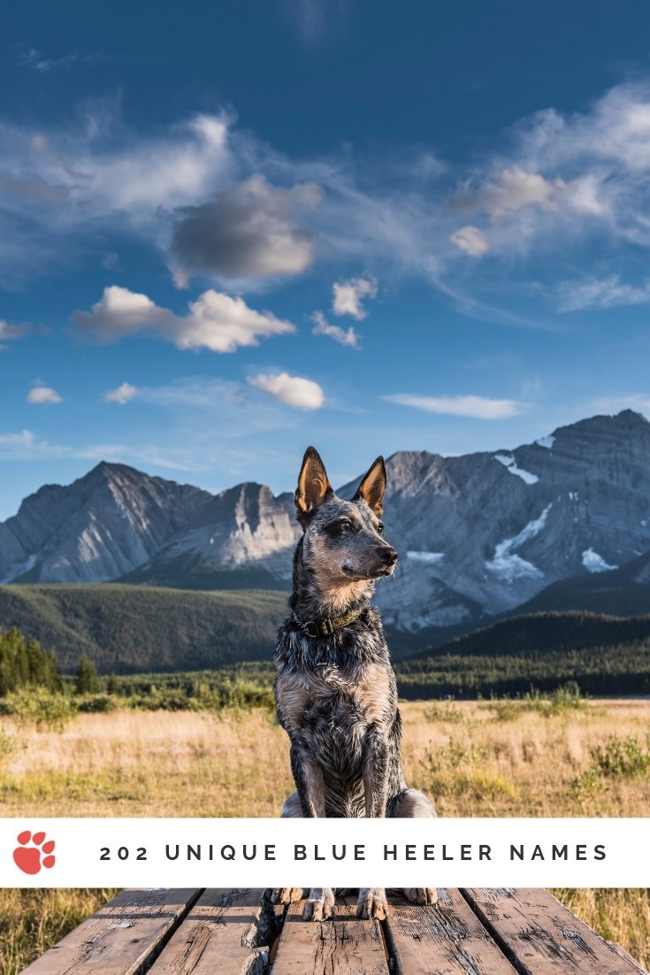 Blue heeler dog sitting on wooden planks with mountains in the background