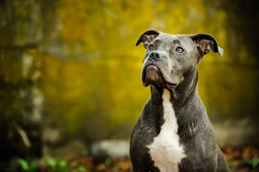Portrait of blue nose American Pitbull Terrier