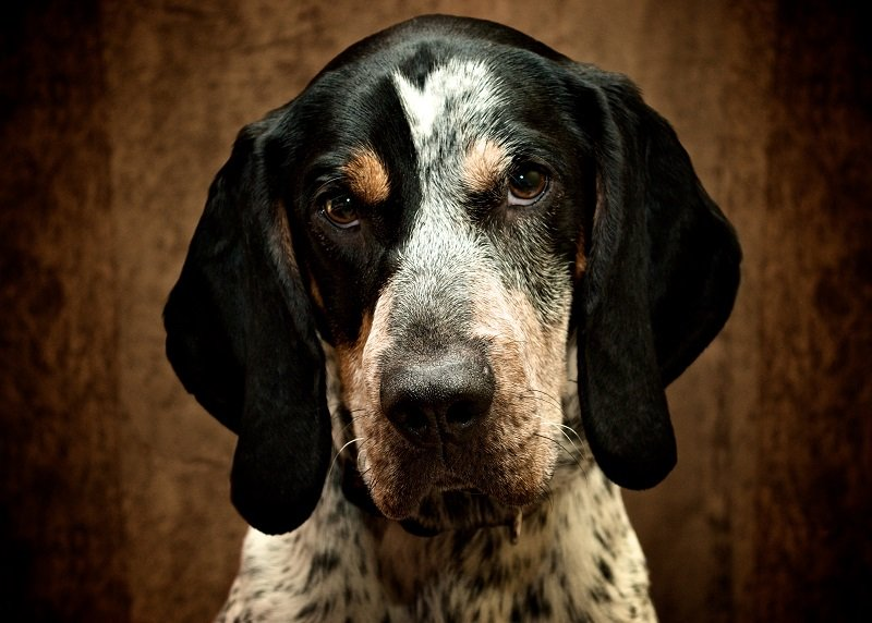 Bluetick Coonhound dog breed