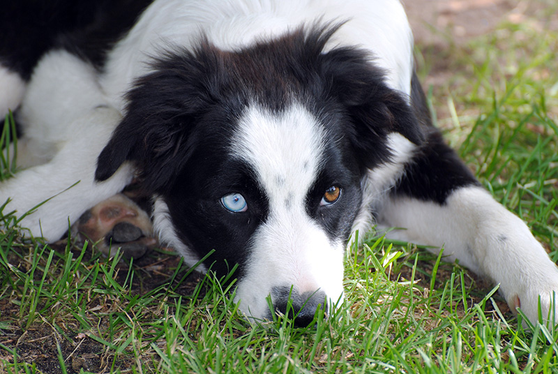 Border Collie Australian Shepherd Mix A.K.A. The Border Aussie