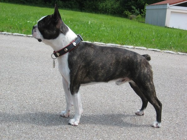 Boston-terrier american dog breeds