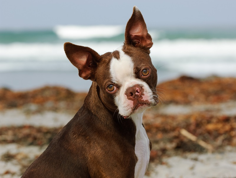 brown colored Boston Terrier dog
