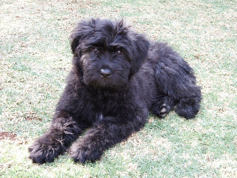 Bouvier des Flanders best personal protection fearless dog breed for family protection