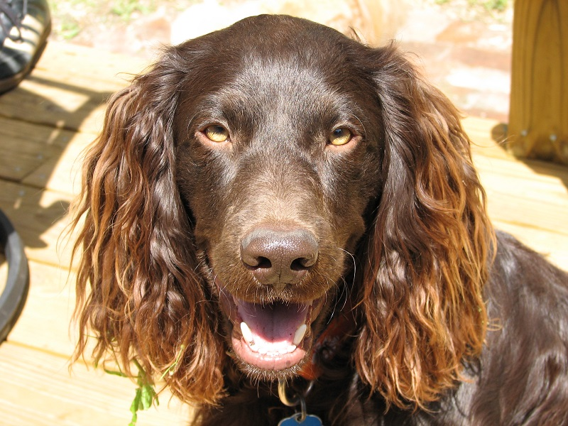Brown Boykin Spaniel in profile