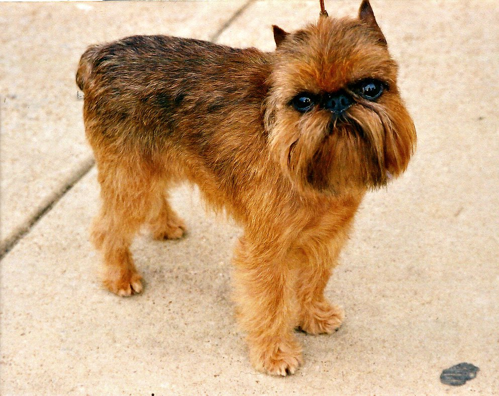 Brussels_Griffon small Belgian dog breeds