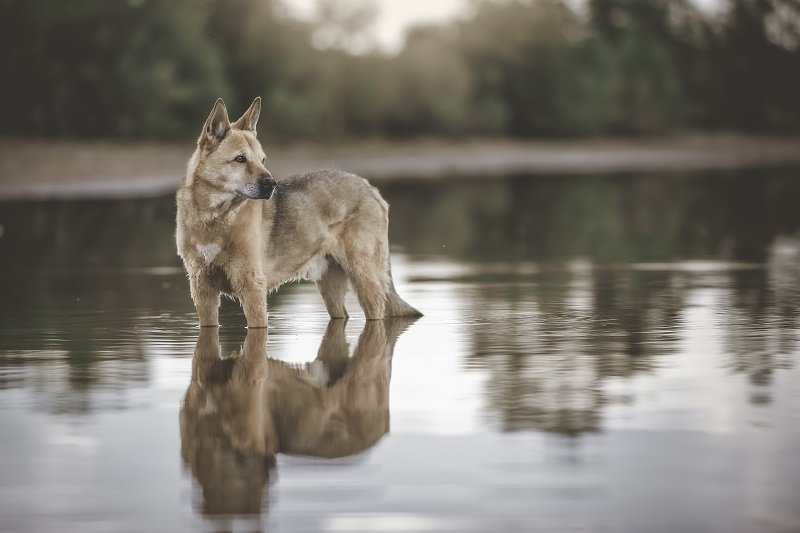 Canaan dog standing in water