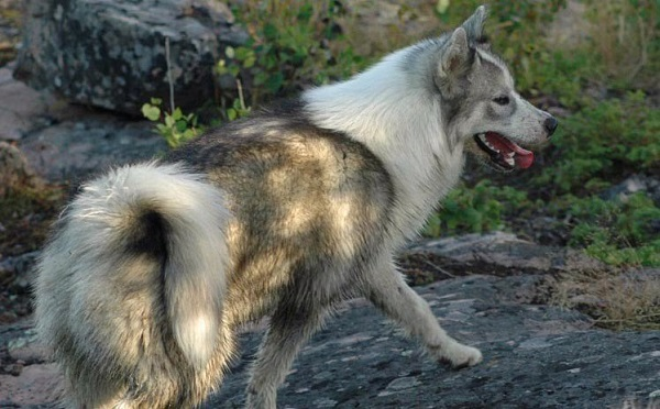Canadian_Eskimo_Dog one of the most expensive dogs in the world
