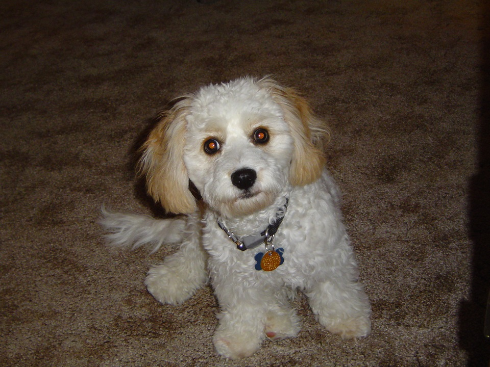 Cavachon dog sitting on carpet