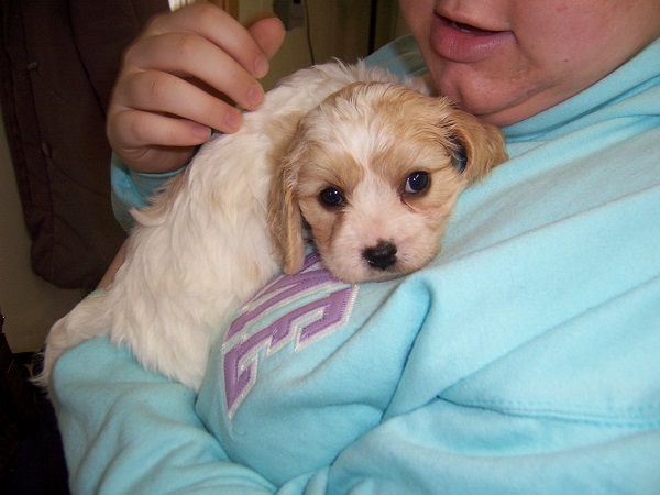 Dog owner holding Cavachon puppy