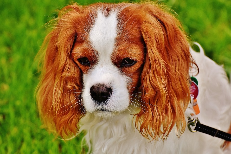 Cavalier King Charles Spaniel best dog breed for first time dog owners