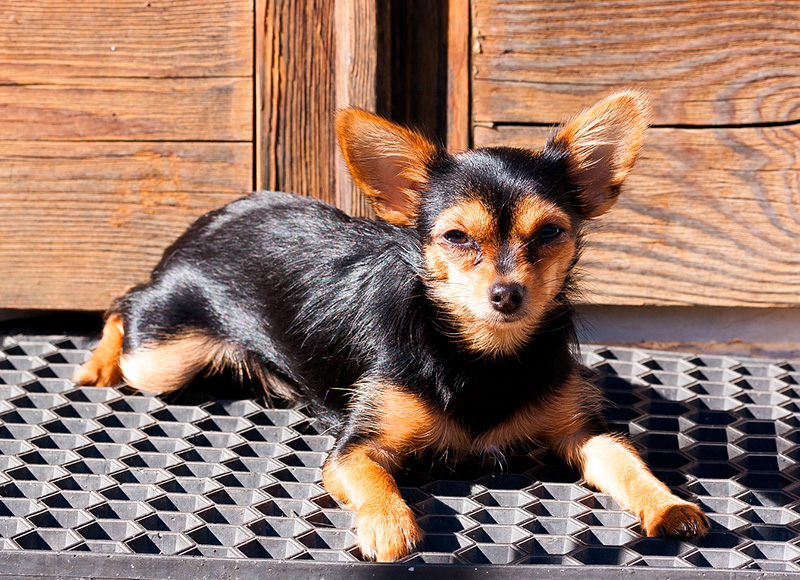 Chorkie Dogs - Chihuahua Yorkshire Terrier Mix