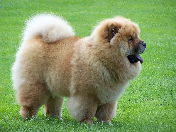 ChowChow is an expensive dog breed