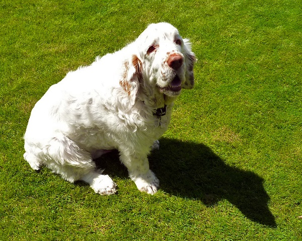 Clumber_Spaniel rare breed in USA