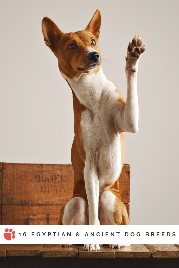 Basenji dog holding one paw up