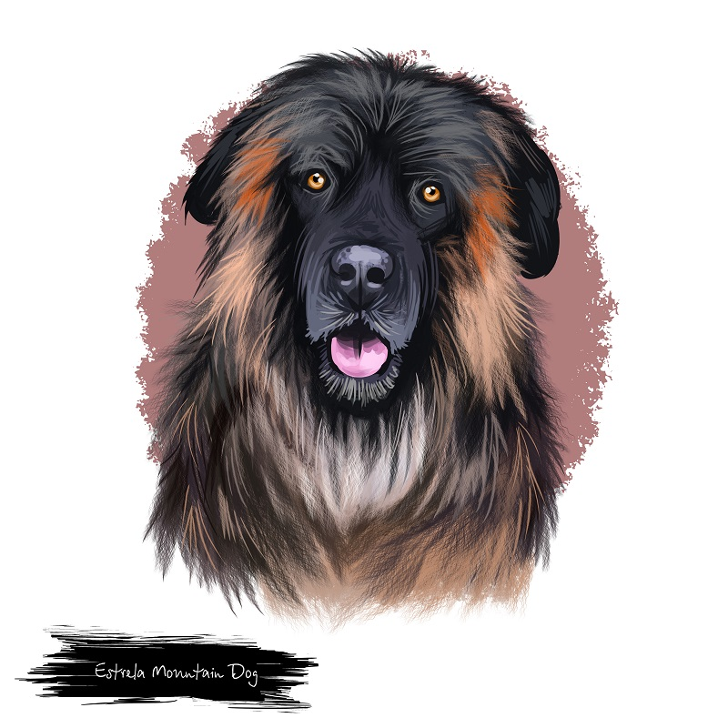 Estrela Mountain Dog, Portuguese Shepherd dog digital art illustration isolated on white background. Portugal origin guardian dog