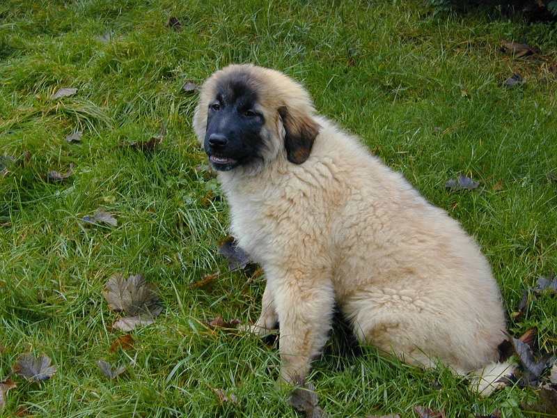 cao da serra da estrela Estrela mountain dog puppy breeders