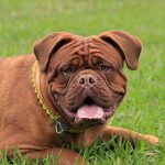 French mastiff price