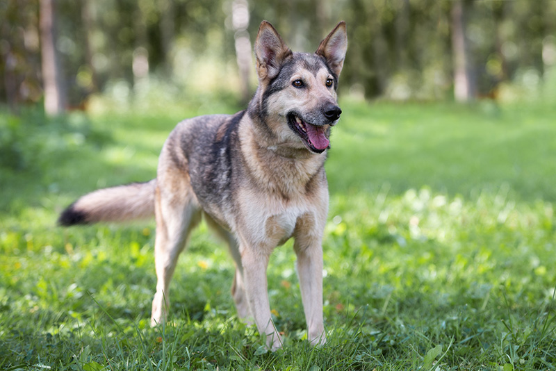 Gerberian Shepsky playing in forest