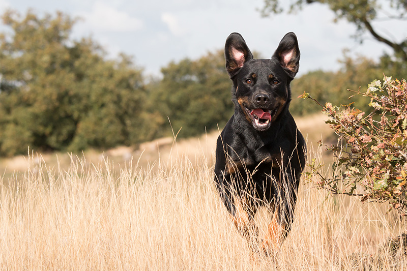 German Shepherd Rottweiler Mix in the wild