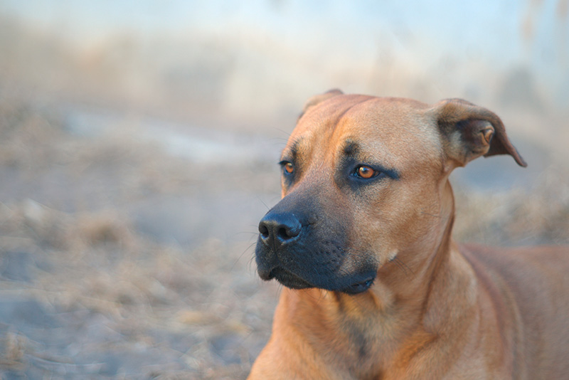 Portrait of German Shepherd Pitbull Mix AKA German Pit or German Sheppit