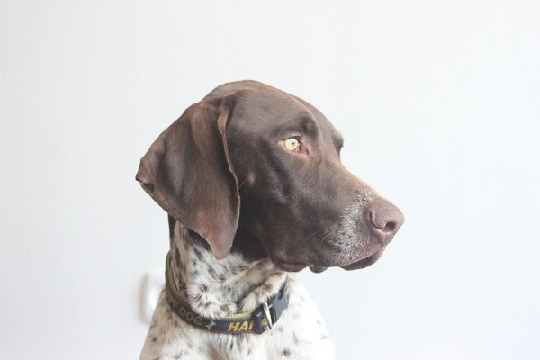 German_shorthaired_pointer best hunting dog breeds