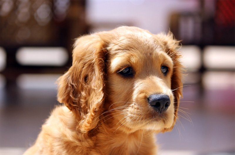 Golden Cocker Retriever - Cocker Spaniel and Golden Retriever Hybrid