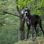Great Dane temperament